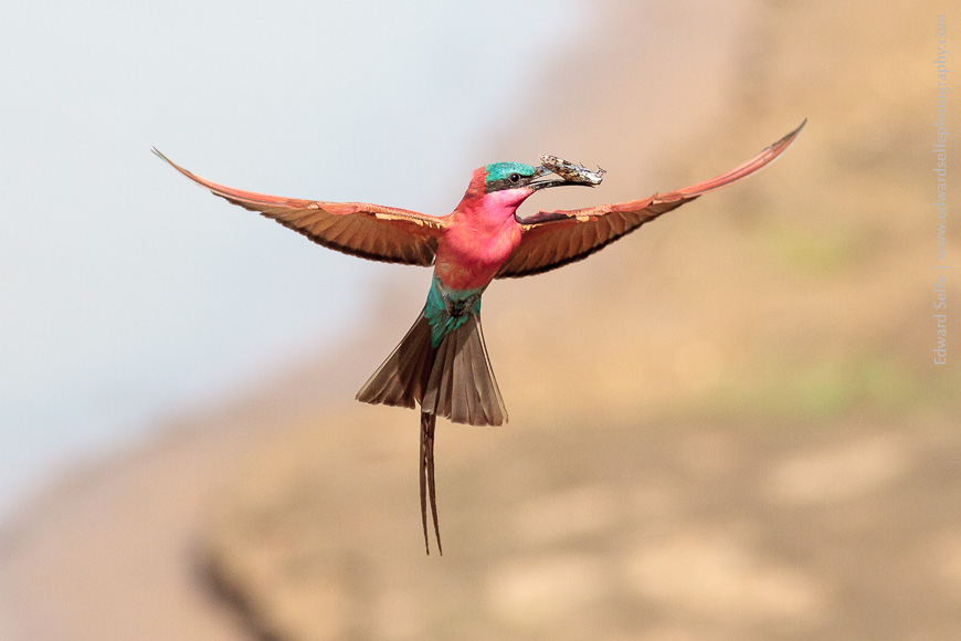 Apparently hovering in mid-air, a Carmine Bee-eater catches the wind momentarily before plunging into a nest-hole to feed a chick.