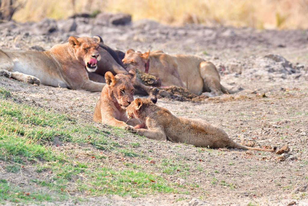 Lion kill, Zambezi River
