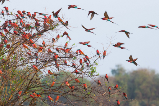 Seven Amazing Facts About Carmine Bee-Eaters