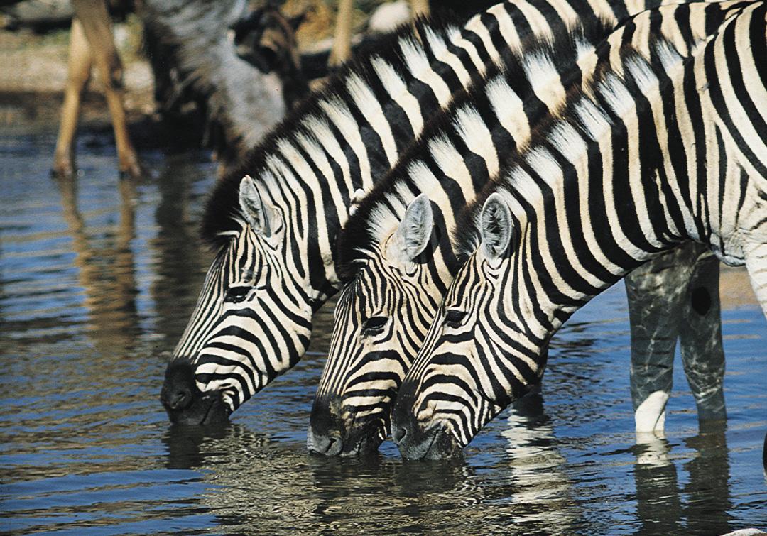 zebra zambia tourism